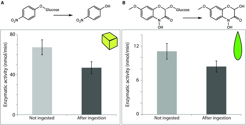 Maize β-glucosidases were recovered in active form after digestion by S. littoralis larvae. Enzymatic activity levels were determined in non-ingested material and after digestion of diet cubes spiked with semi-purified maize β-glucosidase (A) , or after feeding on maize leaf tissue (B) . Activities were measured either using the non-specific β-glucosidase substrate pNPG (A) or the endogenous plant substrate DIMBOA-Glc (B) . Shown are the means ± standard errors [ N = 3 in both analyses; P = 0.2 (A) and P = 0.3 (B) ].