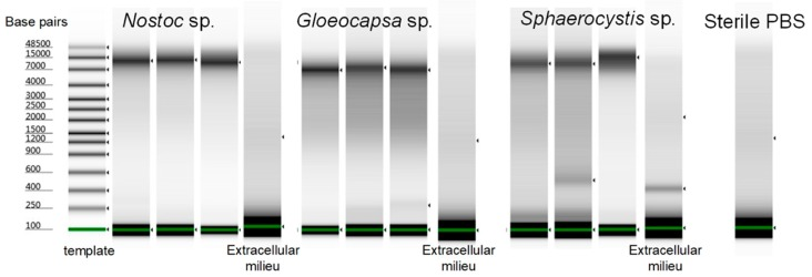 The Tapestation results of amplified DNA from single Nostoc sp., Gloeocapsa sp. and Sphaerocystis sp. cells using the optimized protocol. The DNA was not degraded. Three single cells from each species were shown.