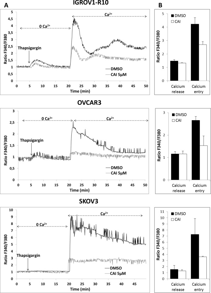 CAI does not block IP3R calcium release but inhibits SOCE (A) Effect of CAI on IP3R and SOC. Microspectrofluorimetry using Fura-2AM probe was performed in the three carcinoma cell lines IGROV1-R10, OVCAR3 and SKOV3 cells. During exposure to 0Ca 2+ , depletion of the intracellular stores was triggered by the addition of 2 μM thapsigargin to the bathing medium. Subsequent replenishment of 2 mM Ca 2+ to the medium elicited a rise in [Ca 2+ ] i due to Ca 2+ influx through open SOC. Black tracings depict the representative changes in [Ca 2+ ] i recorded from DMSO-treated cells and grey tracings depict the representative changes in [Ca 2+ ] i recorded from cells pre-treated for 1h with 5μM CAI. (B) Means ± SEM of the peaks of thapsigargin-induced Ca 2+ release and Ca 2+ store-operated channel entry recorded from CAI pre-treated cells (black bar) or not (DMSO) (white bar) (n=3).