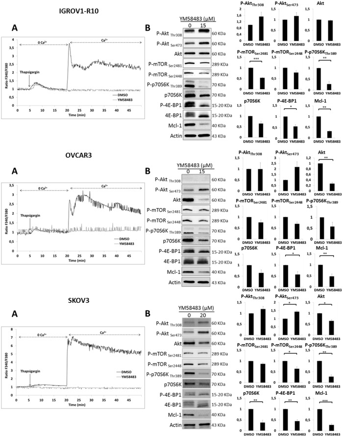 YM48583 blocks SOCE and inhibits mTORC1 targets and Mcl-1 (A) Effect of YM58483 on IP3R and SOC. Microspectrofluorimetry using Fura-2AM probe was performed in the three carcinoma cell lines IGROV1-R10, OVCAR3 and SKOV3 cells. During exposure to 0Ca 2+ , depletion of the intracellular stores was triggered by the addition of 2 μM thapsigargin to the bathing medium. Subsequent replenishment of 2 mM Ca 2+ to the medium elicited a rise in [Ca 2+ ] i due to Ca 2+ influx through open store-operated channels. Black tracings depict the representative changes in [Ca 2+ ] i recorded from DMSO treated cells and grey tracings depict the representative changes in [Ca 2+ ] i recorded from cells pre-treated 1h with 15 μM for IGROV1-R10 and OVCAR3 cells or 20 μM for SKOV3 cells (data are representative of three independent experiments). (B) Effect of YM58483 on Akt/mTORC1 pathway. Cells were treated with YM58483 (15 μM for 48h for IGROV1-R10 cells, 15 μM for 72h for OVCAR3 cells and 20 μM for 72h for SKOV3 cells). The effect of YM58483 treatment on the activation of the PI3K/Akt/mTOR pathway was analyzed by studying the protein expression of P-Akt (Ser473 and Thr308) and total Akt, P-mTORC1 (Ser2448) and P-mTORC2 (Ser2448), P-p70S6K (Thr389) and total p70S6K and P-4E-BP1 (Thr70) and total 4E-BP1 by western blot analysis. Protein levels (standardized based on actin) were determined by densitometry scanning with Image J software to generate the values shown in the bar graphs. Results are expressed as mean ± SEM. Statistical differences were analyzed with a Student t-test: * p