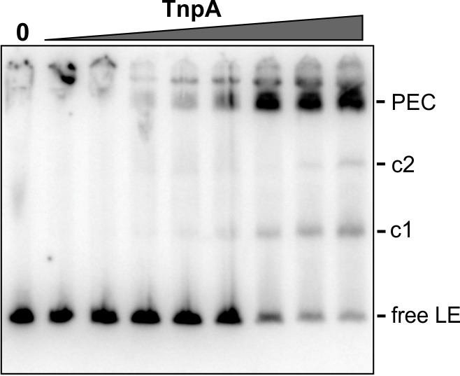 EMSA of TnpA IS1535  binding in DNase I footprint reactions. 1 µl aliquots of footprint binding reactions just prior to DNase I digestion were added to 20 µl EMSA buffer and applied to a native gel to assess the relative amounts of PECs in the footprint reactions. TnpA IS1535  concentrations were from 1 to 128 nM.