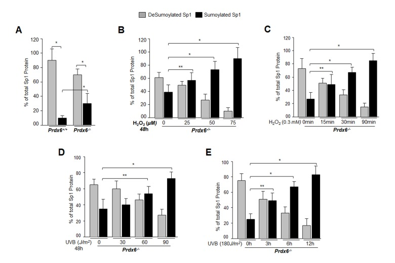 Prdx6 -/- LECs, a model for aging, bore an enhanced Sumoylated form of Sp1, and levels were further increased with exposure to oxidative stress. ( A ) Nuclear extracts were prepared from Prdx6 +/+ and Prdx6 −/− mLECs and submitted to Sp1 Sandwich/Sumo1-ELISA assays to examine the total and Sumoylated forms of Sp1 protein. Sumoylated Sp1 protein was subtracted from total Sp1 protein, and results are presented as deSumoylated (gray bars) and Sumoylated (black bars) forms of Sp1. The data represent mean ± SD from three independent experiments. Prdx6 +/+ vs Prdx6 −/− ; * p