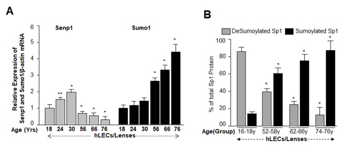 Aging human LECs/lenses showed age-dependent decline in Senp1 expression and increased Sumo1 expression, which were directly related to increase Sp1 Sumoylation. ( A ) Aging hLECs/lenses displayed a progressive decline in the deSumoylating agent Senp1 and an increase in Sumo1 levels. Total RNA was isolated from human lenses/LECs of different ages as indicated, and was processed for real-time qPCR analysis as stated in Materials and Methods. The data represent the mean ± S.D. values from three independent experiments. P values were determined for younger (18y) vs aging samples. ** p