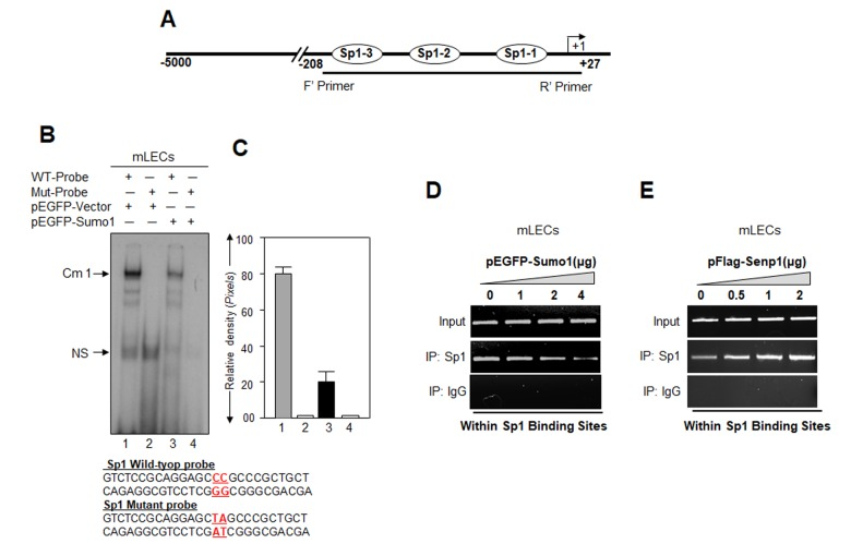 Cells overexpressing Sumo1 showed reduced Sp1 binding to its responsive elements in Prdx6 promoter. ( A ) Schematic illustration of Prdx6 gene promoter. ( B ) Gel-shift mobility assay showing that Sumo1 reduced the Sp1 DNA–binding activity of Prdx6 gene promoter. Gel-shift mobility assay was carried out using nuclear extracts isolated from mLECs transfected with pEGFP-Vector (Lanes 1 and 2) or pEGFP-Sumo1 (Lanes 3 and 4) incubated with 32p-labeled wild type probe (Lanes 1 and 3) or its mutant (Lanes 2 and 4). A diminished Cm1 band was observed in cells overexpressing Sumo1 (Lane 3) in comparison to vector control (Lane 1). No binding occurred in mutant probes (Lanes 2 and 4). ( C ) Histogram represents densitometry analysis of DNA-protein complex formed in gel-shift assay. Lane 1 vs lane 3, * p
