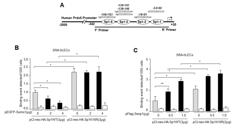 Mutagenesis and in vivo DNA binding assay revealed increased binding of Sumoylation-deficient Sp1K16R to Sp1 site in Prdx6 promoter by skipping aberrant Sumoylation effect. ( A ) Schematic representation of the regulatory region of proximal promoter of Prdx6 gene containing GC-box (Sp1 binding sites) showing primer location used in ChIP assay. ( B ) Sumo1 failed to affect Sp1-DNA binding activity in Sumoylation-deficient Sp1K16R transfected LECs. SRA-hLECs were transfected with either pCl-neo-HA-Sp1 or its mutant pCl-neo-HA-Sp1K16R alone or cotransfected with different concentrations of pEGFP-Sumo1. ChIP experiment was carried out as described in Materials and Methods. Chromatin samples prepared from LECs cotransfected with pEGFP-Sumo1 with either pCl-neo-HA-Sp1 or its mutant pCl-neo-HA-Sp1K16R were subjected to ChIP assay with a ChIP grade antibody, anti-HA (gray and black bars) and control IgG (open bars). The DNA fragments were used as templates for RT-qPCR by using primers designed to amplify −342 to +30 region of the Prdx6 gene promoter bearing Sp1 binding sites as shown. Histogram shows the amplified DNA through real-time qPCR analysis. 0 µg vs 2 µg and 4µg pEGFP-Sumo1, pCl-neo-HA-Sp1 WT vs pCl-neo-HA-Sp1K16R (* p