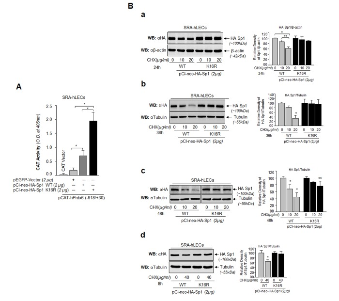Sp1 (K16R) mutated at Sumoylation site enhanced its transcription potential by increasing steady state of Sp1 in cells. ( A ) SRA-hLECs were cotransfected with wild type Prdx6 promoter linked to CAT along with either pCl-neo-HA-Sp1 or pCl-neo-HA-Sp1K16R as shown. After 72h cell lysates were analyzed for CAT activity. Histograms represent values derived from three independent experiments. * p