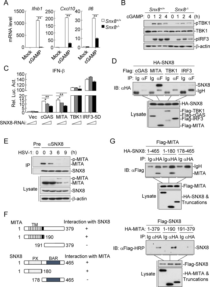 SNX8 is associated with MITA. (A) Snx8 +/+ and Snx8 -/- MLFs (4x10 5 ) were left un-treated or treated with cGAMP (0.2 μg/ml) for 3 h before qPCR analysis. (B) Snx8 +/+ and Snx8 -/- MLFs (4x10 5 ) were left un-treated or treated with cGAMP (0.2 μg/ml) for the indicated times before immunoblot analysis. (C) HEK293 cells (1x10 5 ) were first transfected with increased amounts of SNX8 RNAi (0.4 μg) for 24 h, and then re-transfected with the IFN-β reporter (0.05 μg) and indicated expression plasmids (0.1 μg each) for 24 h before luciferase assays. (*p