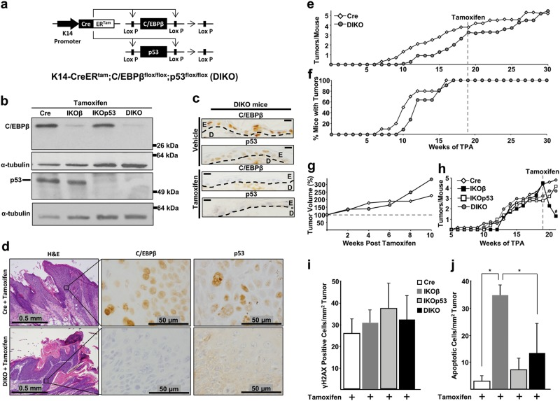 Oncogenic Ras tumor regression following deletion of C/EBPβ is dependent on p53. a Schematic of the K14-CreER tam ;C/EBPβ flox/flox ;p53 flox/flox (DIKO) transgenic mouse model system. b Western blot analysis of C/EBPβ and p53 in epidermal lysates of tamoxifen-treated Cre, IKOβ, IKOp53, and DIKO mice. c IHC staining for C/EBPβ and p53 in normal DIKO mouse skin following vehicle and tamoxifen treatment. D dermis, E epidermis. Scale bar: 10 μm. d H E and IHC staining for C/EBPβ and p53 in DMBA/TPA-induced mouse squamous papillomas following tamoxifen dosing. e Tumor multiplicity in DMBA/TPA-induced skin squamous papilloma in Cre and DIKO mice dosed with tamoxifen at 19 weeks of skin tumor promotion (Cre N = 10 mice, DIKO N = 11 mice). f Tumor incidence in Cre and DIKO mice. g Tumor volume in Cre and DIKO mice. h Tumor multiplicity in Cre, IKOβ, IKOp53, and DIKO mice before and after tamoxifen collected 2 weeks after initial tamoxifen dose (Cre N = 5 mice, IKOβ N = 3 mice, IKOp53 N = 5 mice, DIKO N = 5 mice). # indicates IKOβ is significantly different from Cre p