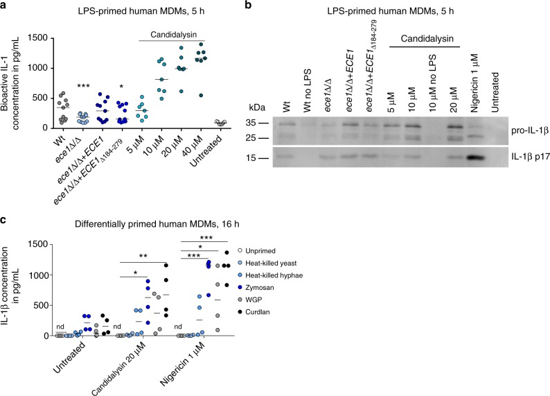 Candidalysin-dependent release of bioactive, mature IL-1β by primed hMDMs. a Levels of bioactive IL-1 measured in culture supernatants of LPS-primed hMDMs that were infected with C . albicans Wt, re-integrant ( ece1 Δ/Δ + ECE1 ) or mutant strains ( ece1 Δ/Δ, ece1 Δ/Δ + ECE1 Δ 184–279 ) (MOI 10) or co-incubated with synthetic Candidalysin. Bioactive IL-1 was quantified by stimulation of EL4.NOB-1 cells culture supernatants and correlation of the secreted murine IL-2 to a concentration range of recombinant human IL-1β. b The presence of processed IL-1β (p17) detected by western blotting in the supernatant of LPS-primed or unprimed (no LPS) hMDMs that were infected with C . albicans Wt, re-integrant ( ece1 Δ/Δ + ECE1 ) or mutant strains ( ece1 Δ/Δ, ece1 Δ/Δ + ECE1 Δ 184–279 ) (MOI 10) or co-incubated with synthetic Candidalysin for 5 h. A representative image of three independent experiments or donors is shown. c IL-1β levels were determined by ELISA in culture supernatants of human MDMs that were primed for 16 h with heat-killed C . albicans yeasts or hyphae, Zymosan ( Saccharomyces cerevisiae cell wall), WGP (whole glucan particles; S . cerevisiae β-glucan) or Curdlan (β-1,3 glucan) followed by treatment with synthetic Candidalysin or Nigericin for 5 h. Values are represented as scatterplot and the median of at least three different donors in at least two independent experiments. For statistical analysis, a one-way ANOVA with Dunnett's multiple comparison test was used. *** p ≤ 0.001, ** p ≤ 0.01, * p ≤ 0.05, nd not detectable. Significance compared to Wt ( a ) or to unprimed cells ( c )
