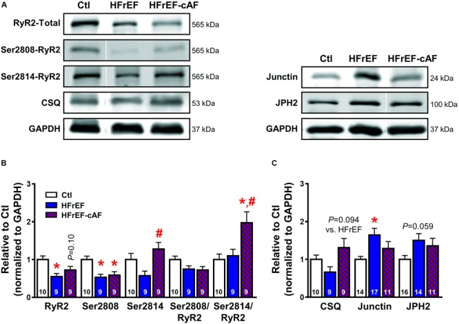 Molecular determinants of ryanodine receptor type-2 (RyR2) dysfunction. (A) Representative Western blot examples of total RyR2, Ser2808-, and Ser2814-phosphorylated RyR2 and calsequestrin (CSQ; left), as well as junctin and junctophilin-2 (JPH2; right) protein expression levels. GAPDH was used as loading control. (B) Quantification of total RyR2, Ser2808-, and Ser2814-phosphorylated RyR2, Ser2808/total RyR2, and Ser2814/total RyR2 protein expression levels in Ctl (white bars), HFrEF (blue bars) and HFrEF-cAF (red/blue-striped bars) patients. (C) Protein expression levels of the RyR2-interacting proteins CSQ, junctin, and JPH2 in Ctl, HFrEF and HFrEF-cAF patients. Data are shown relative to Ctl. Numbers in bars indicate number of patients. ∗ indicates P