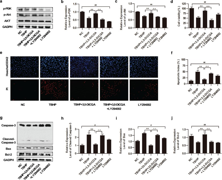 Effects of 3,5-diCQA on TBHP-induced injury of H9C2 cells under inhibition of the PI3K / Akt signaling pathway. LY294002 was applied to inhibit the activation of the PI3K/Akt signaling pathway in this section. H9C2 cells were pre-incubated with 25 μM LY294002 for 1 h, and 20 μM 3,5-diCQA for another 24 h and then 75 μM TBHP. (a) Western blotting of the PI3K/Akt signaling and the fold activation data analysis (b and c) ( n = 3); (d) cell viability of H9C2 determined by MTT assay ( n = 6); (e and f) Percentage of apoptotic cells of H9C2 determined by Hoechst 33342/PI staining ( n = 3); (g) Western blotting of apoptosis-related proteins including cleaved caspase-3, Bax and Bcl-2 and the fold activation data analysis (h through j) ( n = 3). Data were shown as mean ± SD. # p