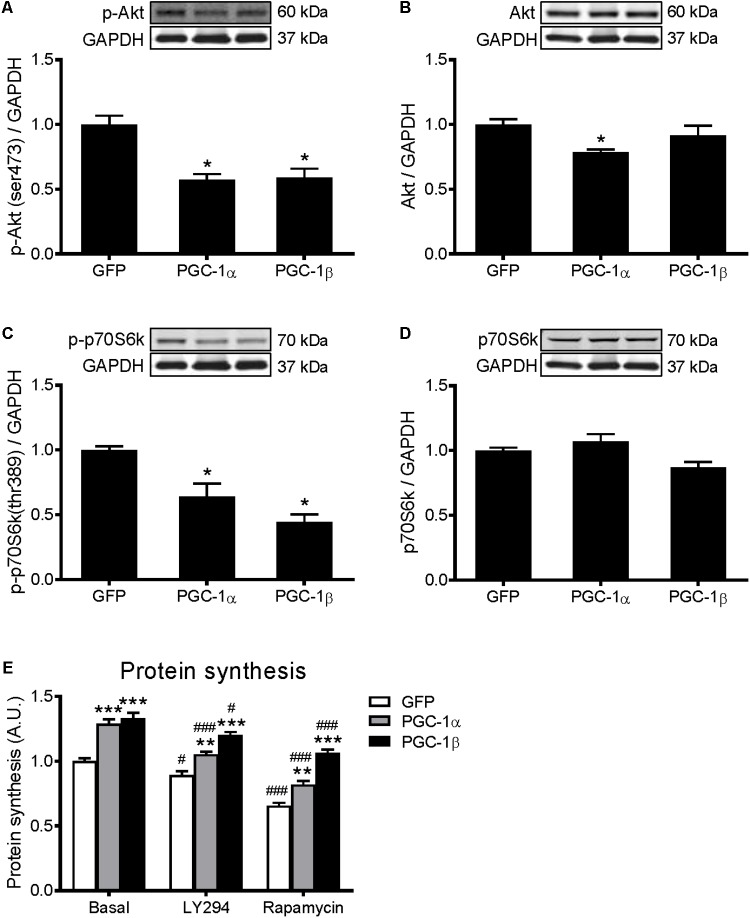 Western blot analysis of Akt and p70S6k proteins in GFP, PGC-1α, and PGC-1β infected C2C12 myotubes. Myotubes were infected with GFP, PGC-1α, or PGC-1β adenoviruses for 48 h, and samples were extracted after 72 h. (A) Phospho-Akt (ser473), (B) total Akt protein, (C) phospho-p70S6k (thr389), and (D) total p70S6k protein expression. Samples were harvested after 72 h of infection. Bands were normalized to GAPDH protein. The same control images have been used for A , C , and B , D . n = 5 per group. ∗ P