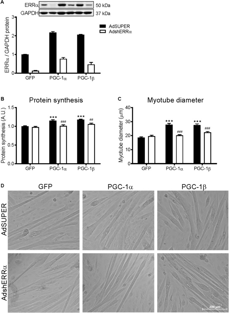 Protein synthesis and myotube diameter in C2C12 myotubes infected with AdshERRα and PGC-1 adenoviruses. Myotubes were infected with either AdSUPER or AdshERRα for 24 h, followed by infection with GFP, PGC-1α, or PGC-1β for a further 48 h. (A) ERRα protein, normalized to GAPDH protein. n = 3–4 per group. (B) Protein synthesis, measured via [ 3 H]-tyrosine incorporation for 24 hours after infections. n = 6 per group, repeated in three experiments. (C) Average myotube diameter from 10 myotubes per visual field (10 visual fields for each group). (D) Representative images of GFP, PGC-1α, and PGC-1β infected myotubes, with AdSUPER or AdshERRα. ∗∗∗ P
