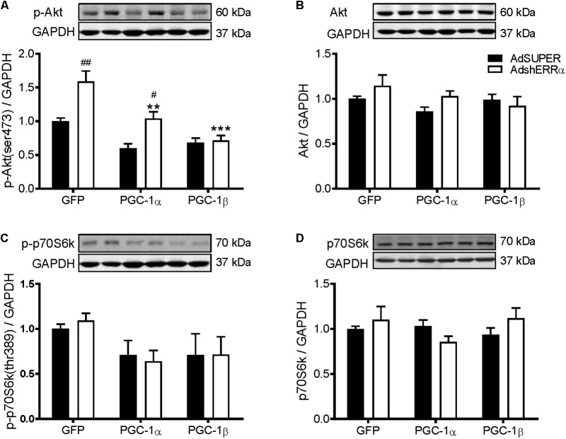 Western blot analysis of Akt and p70S6k proteins in C2C12 myotubes infected with AdshERRα and PGC-1 adenoviruses. Myotubes were infected with either AdSUPER or AdshERRα for 24 h, followed by infection with GFP, PGC-1α, or PGC-1β for a further 48 h. Samples were harvested after 96 h. (A) Phospho-Akt (ser473), (B) total Akt protein, (C) phospho-p70S6k (thr389), and (D) total p70S6k protein expression. Bands were normalized to GAPDH protein. The same control images have been used for A–C . n = 4 per group. ∗∗ P
