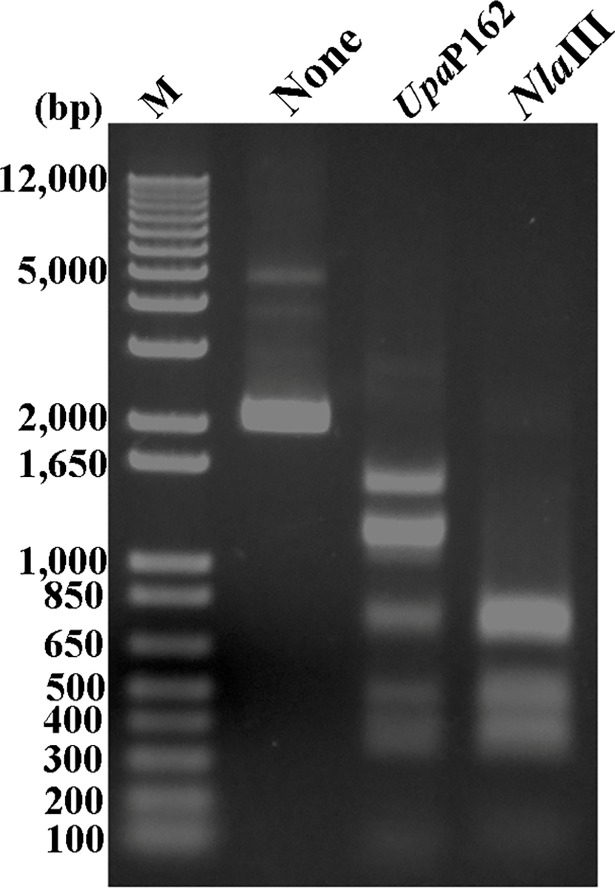 Digestion pattern of pT7Blue by Upa P162 and Nla III. The pT7Blue plasmid was either untreated or treated for 1 h with either Upa P162 or Nla III and products were separated by electrophoresis in 1% agarose.