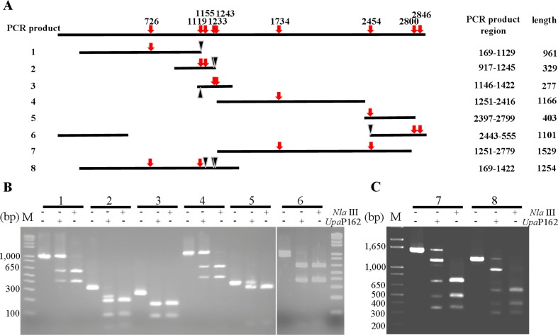 Upa P162 activity on CATG motifs. (A) Schematic representation of amplified PCR products 1 to 8. CATG motifs are shown by red arrows and PCR product regions and the sizes, as well as mutation sites (black triangle), are indicated. (B) Digestion of products of 1 to 6 by UpaP 162 and Nla III for 1 h, respectively. (C) Digestion of PCR products 7 and 8 by Upa P162 and Nla III for 1 h, respectively.