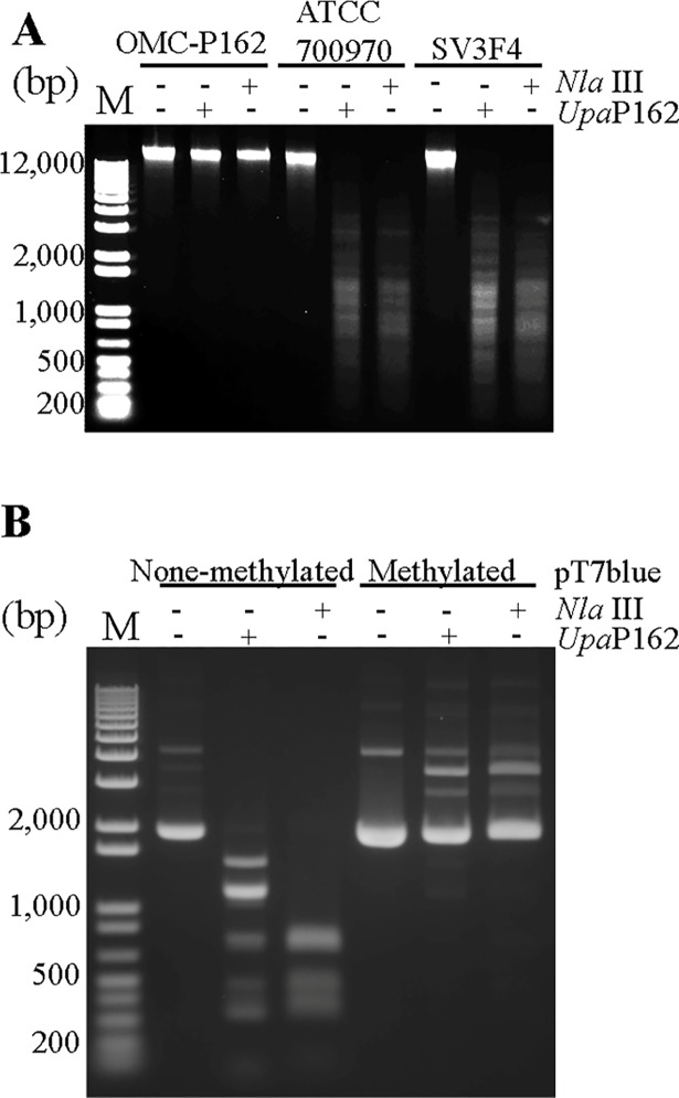 DNA digestion by Upa P162 and Nla III. (A) The indicated Ureaplasma genomes were treated with either Upa P162 or Nla III for 1 h. (B) UPV229-treated and untreated pT7Blue plasmid was digested by either Upa P162 or Nla III for 1 h.