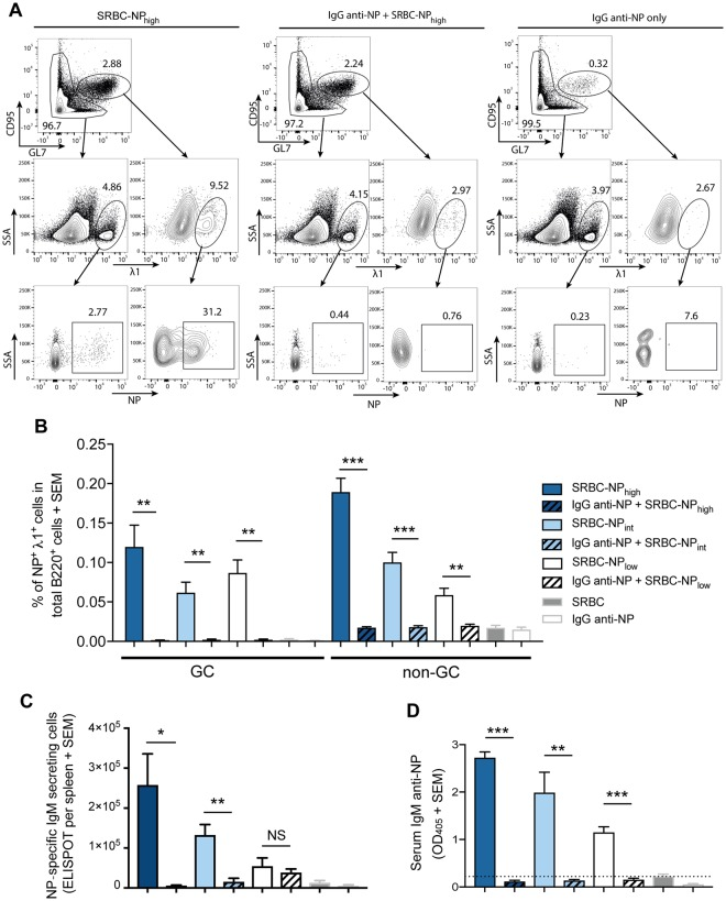 IgG anti-NP suppresses IgM anti-NP responses at all NP densities. C57BL/6 mice were immunized i.v. with 5 × 10 7 SRBC-NP with high (SRBC-NP high ), intermediate (SRBC-NP int ) or low (SRBC-NP low ) epitope density with or without 30 μg polyclonal IgG anti-NP. Mice immunized with 5 × 10 7 unconjugated SRBC or with 30 μg IgG-anti NP only were used as controls. NP-specific immune responses were analyzed in spleen and serum samples obtained 5 days after immunization. ( A ) Cells were initially gated for B220 + cells. Representative flow cytometry gating for B220 + GC (defined as GL7 high CD95 high ) and non-GC λ1 + NP + cells from mice immunized with SRBC-NP high (left), IgG anti-NP + SRBC-NP high (middle) and IgG anti-NP alone (right). ( B ) Frequency of GC and non-GC NP + λ1 + cells in total B220 + cells. ( C ) NP-specific IgM-secreting cells per spleen. ( D ) Serum IgM anti-NP levels (serum dilution in ELISA = 1:625). The dashed line indicates the mean value of mice immunized with unconjugated SRBC. Representative of four independent experiments with 4–5 mice per group. ns = p > 0.05, * p