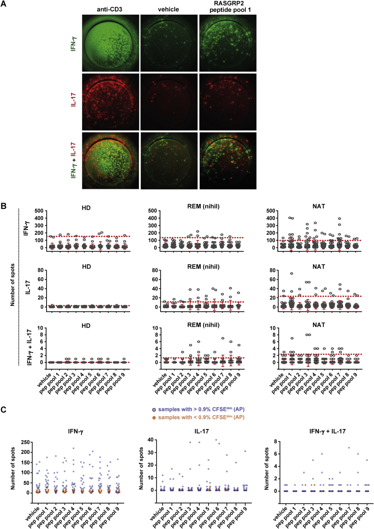 Th1-Th17 Reactivity to RASGRP2 Is Influenced by AP and Increases Stepwise from HD to REM to NAT, Related to Figures 1 , 2 , and 7 and Table S7 (A) Fluorospot images in PBMCs with cytokine reactivity (IFN-γ and/or IL-17) to the RASGRP2 peptide pool 1, as compared to the vehicle control. The positive control with anti-CD3 stimulation is included for comparison. (B) Fluorospot-based cytokine reactivity in PBMCs from HD (n = 11), REM (n = 9) or RRMS patients treated with NAT (n = 20). Number of IFN-γ + , IL17 + and IFN-γ + IL17 + spots is shown for the negative control (vehicle) and upon stimulation with RASGRP2 peptide pools, covering the sequence of RASGRP2 from N- (pool 1) to C terminus (pool 9). Each condition was performed for each donor in duplicate wells. The dots represent the response in a given well. Mean ± SEM is shown with red bars while the red dotted line depicts the mean + 3x standard deviation of the vehicle control. The latter is considered as threshold for positive responses. (C) The results from fluorospot were compared to the degree of AP measured by the CFSE assay in the same individuals (incl. HD and REM; n = 16). Number of IFN-γ + , IL17 + and IFN-γ + IL17 + spots is shown for the negative control (vehicle) and upon stimulation with RASGRP2 peptide pools. Orange dots correspond to samples with low AP (