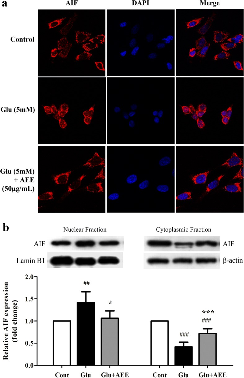 Effect of AE leaf extract on subcellular distribution of AIF in glutamate-treated HT22 cells. ( a ) Representative confocal photographs of immunofluorescence staining with an antibody specific for AIF (red) and nuclei counterstaining with DAPI (blue) of untreated HT22 cells (control; top panel) or cells exposed to 5 mM glutamate alone (middle panel) or glutamate combined with 50 μg/mL AEE (bottom panel) for 16 h. ( b ) Western blot analysis of AIF protein in nuclear and cytoplasmic fractions isolated from HT22 cells exposed to the similar treatment conditions as in ( a ). Lamin B1 and β-actin were used as endogenous loading controls to normalize the expression level of AIF protein from nuclear and cytoplasmic fractions, respectively. Data are expressed as the means ± SD, ## P