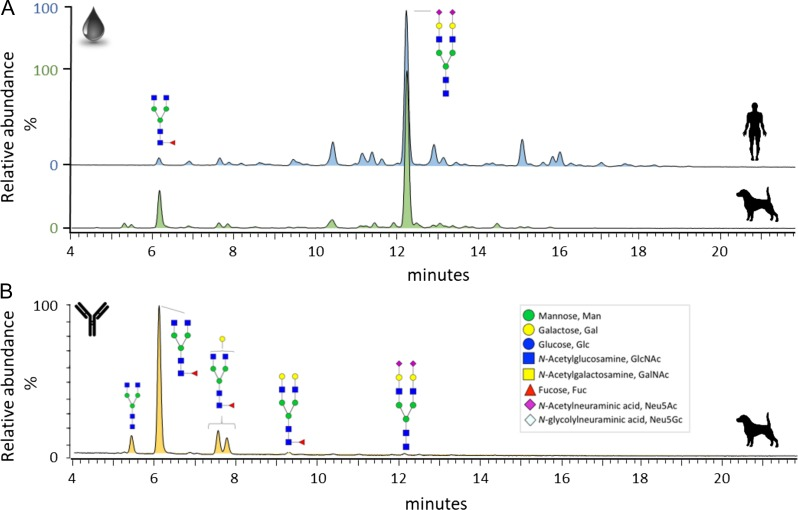 ( A ) HILIC-UPLC profiles of enzymatically released and procainamide-labeled N -glycans from human (blue, top) and canine (green, bottom) blood serum. ( B ) HILIC-UPLC profile of N -glycans released from canine IgG. IgG was purified using Protein G from canine serum. Glycan structures are annotated following the nomenclature outlined by the Consortium for Functional Glycomics (CFG). The inset in B shows the monosaccharide symbols.