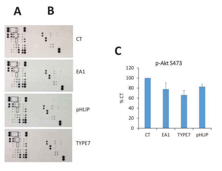Human phospho-kinase array studies of TYPE7 specificity. H358 cells were treated for 10 min with TYPE7 (2 μM) and the following controls: Fc (CT), EA1 (0.5 μg/mL) and pHLIP (2 μM). After treatment, cell lysates were incubated overnight with array membranes (R and D Systems ARY003B) for duplicated detection of phosphorylation of 43 total kinases ( A ) and their substrates ( B ). Myristoylated Src family kinases are boxed: top (Hck, Fyn and Src), middle (Yes and Lyn), and bottom (Lck). The pHLIP peptide was used as a control for specificity. The array contains the following proteins, in order from top to bottom, and then left to right: p38α, ERK1/2, JNK 1/2/3, GSK-3α/β, p53, EGFR, MSK1/2, AMPKα1, Akt, p53, TOR, CREB, HSP27, AMPKα2, β-Catenin, p70 S6 Kinase, p53, c-Jun, Src, Lyn, Lck, STAT2, STAT5a, p70 S6 Kinase, RSK1/2/3, eNOS, Fyn, Yes, Fgr, STAT6, STAT5b, STAT3, p27, PLC-g1, Hck, Chk-2, FAX, PDGFRb, STAT5a/b, STAT3, WNK1, PYK2, PRAS40 and HSP60. ( C ) Quantification of Akt phosphorylation (p–S473).