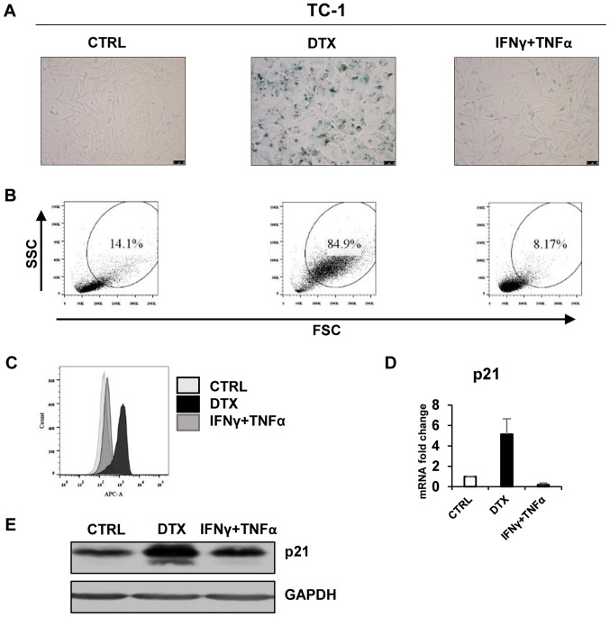 DTX induces senescence in TC-1 cells. (A) Senescence-associated β-galactosidase activity in TC-1 cells treated with DTX or IFNγ + TNFα for 4 days. (B) The size and granularity of control or IFNγ + TNFα-treated senescent TC-1 cells was determined by forward and side scatter flow cytometry analysis. (C) Autofluorescence of the TC-1 control cells is presented in light grey, DTX-treated in black and IFNγ + TNFα-treated in grey. (D) Reverse transcription-quantitative polymerase chain reaction quantification of p21 in control, DTX- and IFNγ + TNFα-treated TC-1 cells. (E) Immunoblotting detection of mouse p21 in control, DTX- and IFNγ + TNFα-treated TC-1 cells harvested on day 4. GAPDH was used as a loading control. Representative results from at least three independent experiments are presented. Data are presented as the mean ± standard deviation. CTRL, control cells; DTX, docetaxel; IFNγ, interferon γ; TNFα, tumour necrosis factor α; FSC, forward scattering; SSC, side scattering; p21, p21 Waf1 .