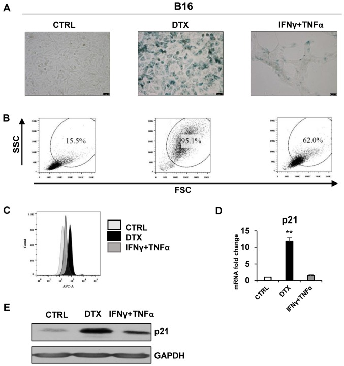 DTX induces senescence in the B16 cell line. (A) Senescence-associated β-galactosidase activity in B16 cells treated with DTX or IFNγ + TNFα for 4 days. (B) The size and granularity of control or IFNγ + TNFα-treated, senescent B16 cells was determined by forward and side scatter flow cytometry analysis. (C) Autofluorescence of the B16 control cells is presented in light grey, DTX-treated in black and IFNγ + TNFα-treated in grey. (D) Reverse transcription-quantitative polymerase chain reaction quantification of p21 in control, DTX- and IFNγ + TNFα-treated B16 cells. (E) Immunoblotting detection of mouse p21 in control, DTX- and IFNγ + TNFα-treated B16 cells harvested on day 4. GAPDH was used as a loading control. Representative results from at least three independent experiments are presented. Data are presented as the mean ± standard deviation. ** P