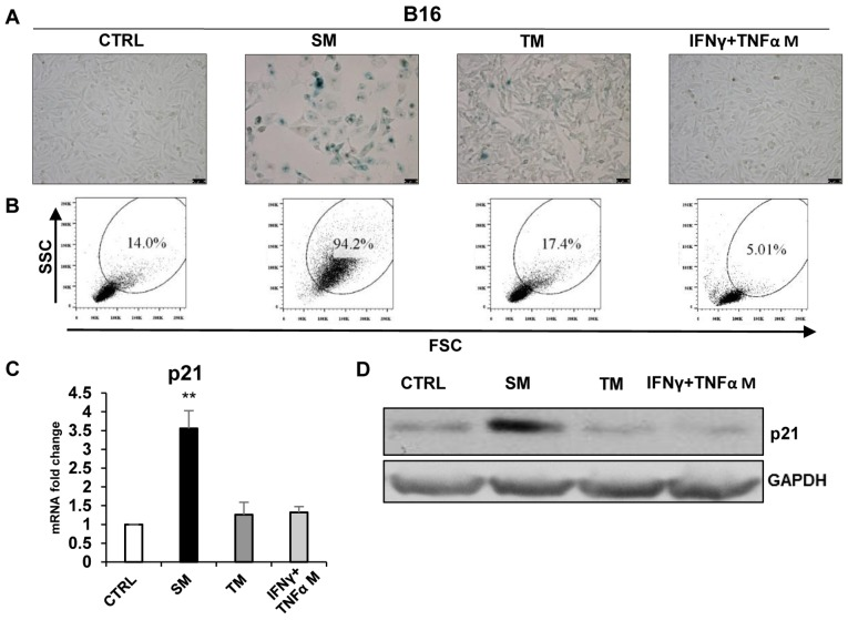 Induction of 'bystander' senescence in B16 tumour cells. (A) Senescence-associated β-galactosidase activity in B16 cells cultured for 4 days in the medium from DTX-treated cells (SM), IFNγ + TNFα-treated cells or proliferating cell medium (TM). (B) The size and granularity of control and senescent B16 cells was determined by forward and side scatter flow cytometry analysis. (C) Expression of p21 in B16 cells cultured for 4 days in different media (reverse transcription-quantitative polymerase chain reaction). (D) Immunoblotting detection of mouse p21 in B16 cells harvested on day 4 after cultivation in different media. GAPDH was used as a loading control. Data are presented as the mean ± standard deviation. ** P