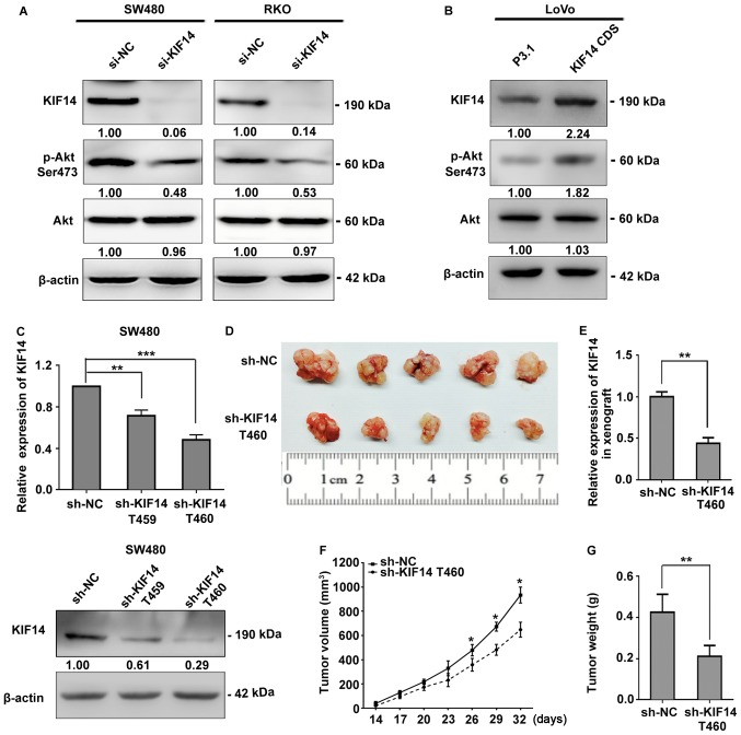 KIF14 activates Akt signaling and promotes CRC tumorigenesis in vivo . Alterations in Akt phosphorylation activity due to (A) attenuated or (B) upregulated KIF14 expression in CRC cells were determined by western blotting. <t>β-actin</t> served as an internal control. (C) Transduction efficiency of recombinant lentiviruses KIF14 shRNA was determined by RT-qPCR and western blotting. All values were presented as the mean ± standard deviation (n=3). (D) Resected subcutaneous tumors generated by SW480 cells stably transduced with KIF14 shRNA T460 or the control (n=5). (E) KIF14 expression in xenografts at day 32 was measured by RT-qPCR. (F) Tumor volume was recorded seven times at equal intervals from the 14th day following injection. (G) Weight of resected xenografts was measured. The results from the xenograft tumor model were presented as the mean ± standard deviation (n=5). ** P
