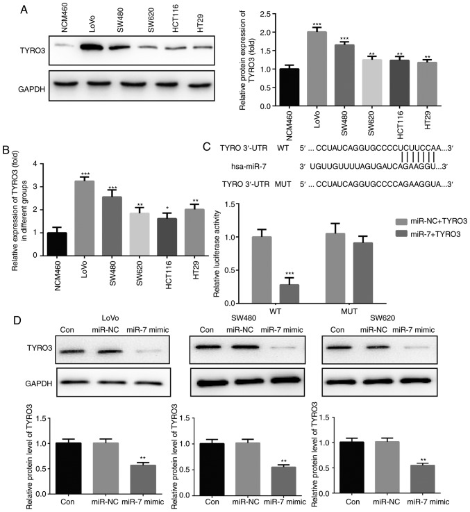 TYRO3 was upregulated in colorectal cancer cells and is a direct target gene of miR-7. (A) Western blot analysis and (B) reverse transcription-quantitative polymerase chain reaction were used to determine the expression of TYRO3 in LoVo, SW480, SW620, HCT116, HT29 and normal colonic mucosa epithelial cells. (C) Luciferase activity in cells co-transfected with TYRO3 3′UTR WT/MUT and miR-7 mimic/mimic control. (D) Protein expression of TYRO3 in LoVo, SW480 and SW620 cells transfected with miR-7 mimic or miR-NC was detected by western blot analysis. Data are expressed as the mean ± standard deviation. * P