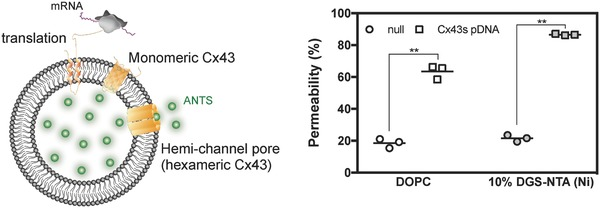 Synthesized NHis–Cx43 was integrated into liposomal membranes and formed a hemichannel pore of NHis–Cx43. Fluorescence intensity of Cx43/DOPC liposomes containing ANTS and NHis–Cx43/10 mol% nickel‐chelating liposomes, after addition of DPX. Each symbol denotes an individual data point showing ANTS permeability ( n = 3) and the line denotes the mean. ** p
