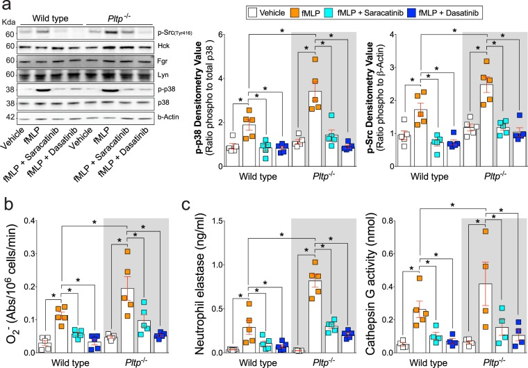 Chemical inhibition of Src tyrosine kinase activity subdues neutrophil degranulation in Pltp −/− mice. Neutrophils were collected from C57BL/6 and Pltp −/− mice and were exposed to Src inhibitors, saracatinib or dasatinib, prior to fMLP at 37 °C for ( a ) 5 minutes or (b-cu unit3d) 0 minutes. ( b ) Immunoblots were performed for phosphorylated Src kinase family (Tyr416) and total Hck, Fgr, Lyn, phosphorylated and total p38, and β-Actin. Densitometry was performed for p-p38 and p-Src. ( c ) A reduced cytochrome c assay was used to determine production of O 2 − by neutrophils. ( c ) Cell-free supernatants were collected and primary (NE by ELISA and cathepsin G by substrate activity) granules were evaluated. N = 5 animal per group. Each measurement is the mean ± SEM. *Denotes a p value