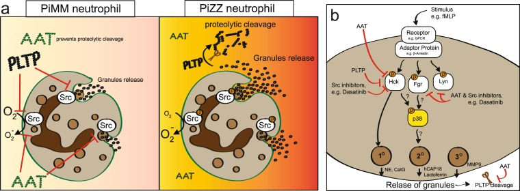 Proposed inhibition of neutrophil degranulation by AAT and PLTP. ( a ) Left panel, functional AAT (PiMM) prevents the cleavage of PLTP by proteases. Both AAT and PLTP prevent Src kinase activation to reduce superoxide production and degranulation. Right panel, AAT deficiency (PiZZ) results in reduced AAT circulation and elevated PLTP cleavage in the lungs. Reduced AAT and cleaved PLTP are less effective at minimizing superoxide production and degranulation in neutrophils. ( b ) Stimulation with fMLP or LTB 4 induces a signaling cascade leading to Hck activation and granule release. PLTP expression, AAT stimulation or Src inhibitors reduces Hck activation and degranulation. Fgr is known to regulate p38 activation but Hck could also contribute. Release of granulates further enhance PLTP cleavage and AAT complexes to serine proteases, which could further enhance degranulation.