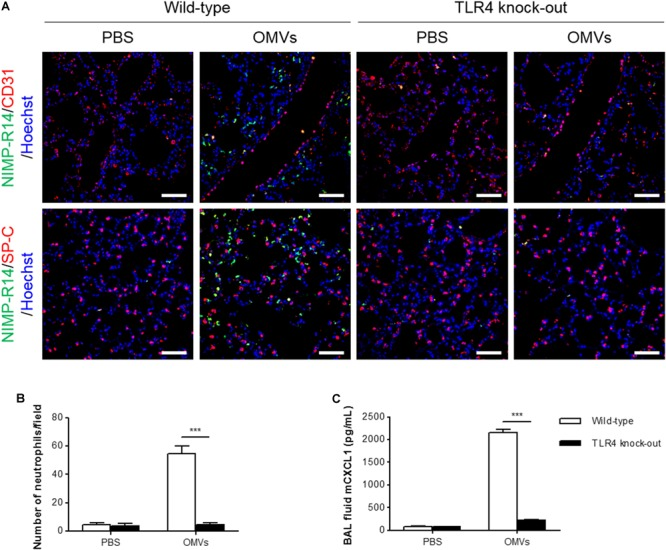 Suppression of OMV-induced neutrophil transmigration in murine lungs of TLR4 knockout mice. Wild-type and TLR4 knockout mice were intraperitoneally administered with PBS or E. coli OMVs (15 μg in total protein amount) for 6 h. Five animals were used in each group. (A,B) The lung sections of five mice at 6 h after E. coli OMV introduction were immunostained with anti-NIMP-R14 (green; neutrophils) and anti-CD31 (red; endothelial cells) or anti-SP-C (red; lung epithelial cells) antibodies, and counterstained with Hoechst 33258 (blue; nuclei). Representative fluorescence images are shown here. Scale bars = 50 μm. The number of neutrophils per field was counted from five confocal microscopy images obtained from the lung sections of five mice (B) . (C) The concentration of CXCL1 was measured in the BAL fluid by ELISA ( n = 5). Data were represented as mean ± SEM. ∗∗∗ P