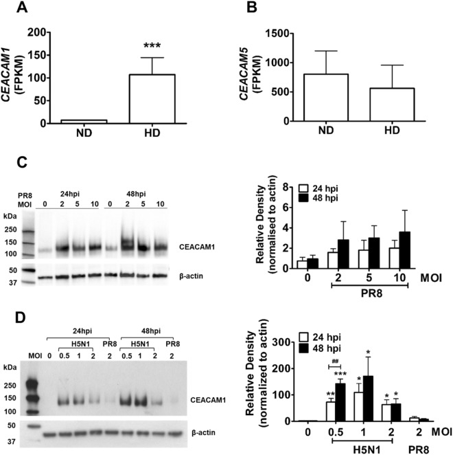 Upregulation of CEACAM1 in influenza virus-infected cells. ( A ) <t>HiSeq</t> analysis showed elevated transcription of CEACAM1 in <t>H5N1-infected</t> ATII cells (HD) when compared to uninfected cells (ND). *** p