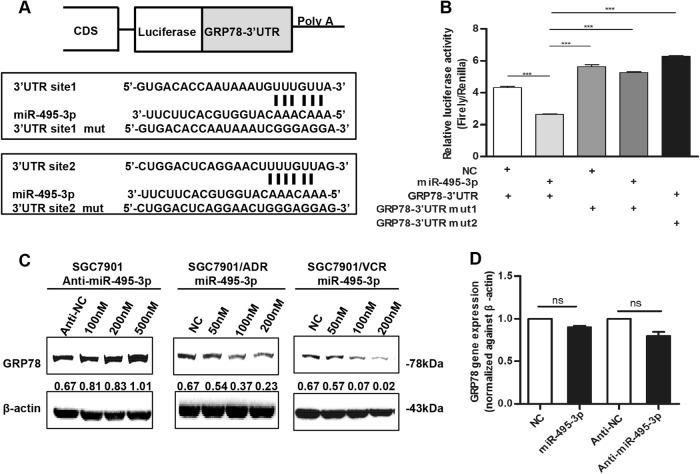 miR-495-3p directly targets GRP78 at the post-transcriptional level. a Illustration of the GRP78 3′-UTR-containing reporter constructs. Mutations were generated at two predicted miR-495-3p binding sites located in the GRP78 3′-UTR. b Representative luciferase activity in SGC7901 cells co-transfected with wild-type or mutated reporter plasmids and nc, miR-495-3p mimic. c Western blot showed the changes in GRP78 protein levels after transient transfection of miR-495-3p inhibitor or mimic with indicated concentration gradient as compared to the negative controls (nc or anti-nc, respectively). d Real-time PCR determined the GRP78 level in SGC7901 after transfection with miR-495-3p inhibitor/mimic or anti-nc/nc. NS is no significance. All values were expressed as mean ± SD, n = 3 for each group. * P