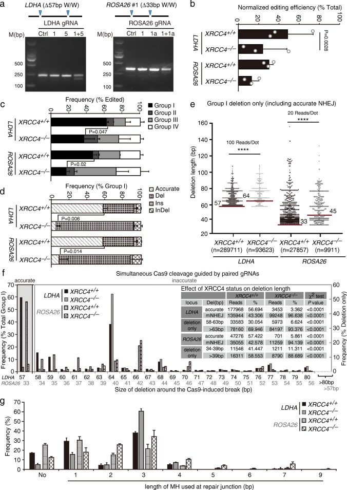 Validation of a reporter-less NHEJ assay in cells deficient for XRCC4 . a Deletion of the intervening sequence between two target sites by paired Cas9-gRNA. Cells were transfected with expression plasmids for single or paired sgRNAs and Cas9 and genomic DNA was purified 72 h post-transfection and amplified by primers flanking the cutting sites. The PCR amplicons were subjected to agarose gel electrophoresis. The distance between two cleavage sites was 57 bp at the LDHA site and 33 bp at the ROSA26 site as indicated and the deletion of the intervening sequence indicates simultaneous Cas9 cleavage. b–d Analysis of NHEJ induced by paired Cas9-gRNA at the LDHA and ROSA26 sites in isogenic XRCC4 +/+ and XRCC4 −/− mouse ES cells. The normalized editing efficiency ( b ), the frequency of each group in edited events ( c ), and the frequency of each category in group I events ( d ) were calculated. The normalized editing efficiency represents the efficiency of overall NHEJ, including accurate and mutagenic NHEJ. Bars represent the mean ± standard deviation (SD) of three independent experiments. For normalized editing efficiency ( b ), Student's paired t -test between XRCC4 +/+ and XRCC4 −/− P = 0.0028 at the LDHA site. e Deletion length distributions of Group I 'Del' events in isogenic XRCC4 +/+ and XRCC4 −/− mouse ES cells. The reads were combined by three independent experiments. At the LDHA site and the ROSA26 site, each dot represents 100 reads and 20 reads, respectively. The median deletion length is indicated, and deletion distributions demonstrate a shift towards longer deletions in cells lacking XRCC4 (Mann–Whitney test, **** P