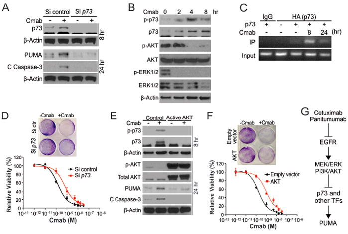 PUMA induction by anti-EGFR antibodies is mediated by <t>p73</t> (A) DiFi cells transfected with control scrambled or p73 siRNA for 24 hr were re-plated and treated with 10 nM cetuximab (Cmab). Expression of p73 at 8 hr, and PUMA and cleaved (C) caspase-3 at 24 hr after cetuximab treatment was analyzed by western blotting. Cells without siRNA transfection and re-plating were used as the control for analyzing p73 at 8r after treatment. (B) Western blotting of indicated proteins in DiFi cells treated 10 nM cetuximab at the indicated time points. Phospho-p73 (p-p73, Y99); <t>phospho-AKT</t> (p-AKT, S473); phospho-ERK1/2 (p-ERK1/2, T202/Y204). (C) DiFi cells transfected with either a control empty vector or a HA-p73α construct were treated with 10 nM Cmab for the indicated times. Binding of transfected p73α to the PUMA promoter was analyzed by chromatin immunoprecipitation (ChIP) using anti-HA antibody with IgG as control, followed by PCR amplification and analysis of PCR products by agarose gel electrophoresis. (D) Crystal violet staining (upper panel) and MTS analysis (lower panel) of DiFi cells transfected with siRNA as in (A) and treated with Cmab at the indicated doses for 72 hr. (E) Western blotting of indicated proteins in DiFi cells transfected with control empty vector or constitutively active AKT for 6 hr, and then treated with 10 nM cetuximab for 8 or 24 hr. (F) Crystal violet staining (upper panel) and MTS analysis (lower panel) of DiFi cells transfected as in (E) and treated with Cmab at the indicated doses for 72 hr. (G) A model of PUMA induction by anti-EGFR antibodies.