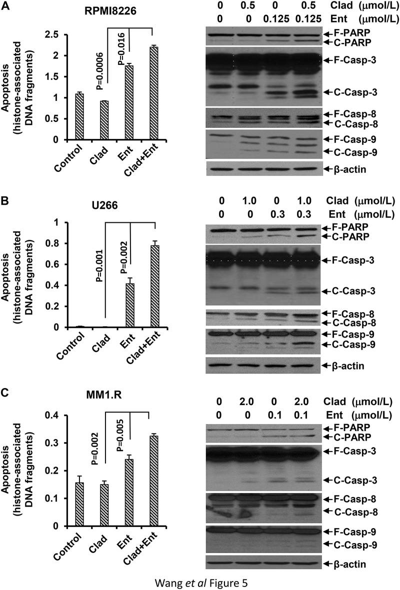 Combination of cladribine and entinostat significantly promotes MM cells undergoing apoptosis. MM cells were cultured with RPMI1640 (2.5% FBS) in the absence or presence of either entinostat (Ent) or cladribine (Clad) alone, or their combinations for 48 hrs. Cells were collected and subjected to apoptotic ELISA or western blot analyses with specific antibody directed against PARP (F-PARP, full length PARP; C-PARP, cleaved PARP), caspase-3 (F-Casp-3, full length caspase-3; C-Casp-3, cleaved caspase-3), caspase-8 (F-Casp-8, full length caspase-8; C-Casp-8, cleaved caspase-8), caspase-9 (F-Casp-9, full length caspase-9; C-Casp-9, cleaved caspase-9), or β-actin. Bars, SD. (a) RPMI8226; (b) U226; (c) MM1.R.