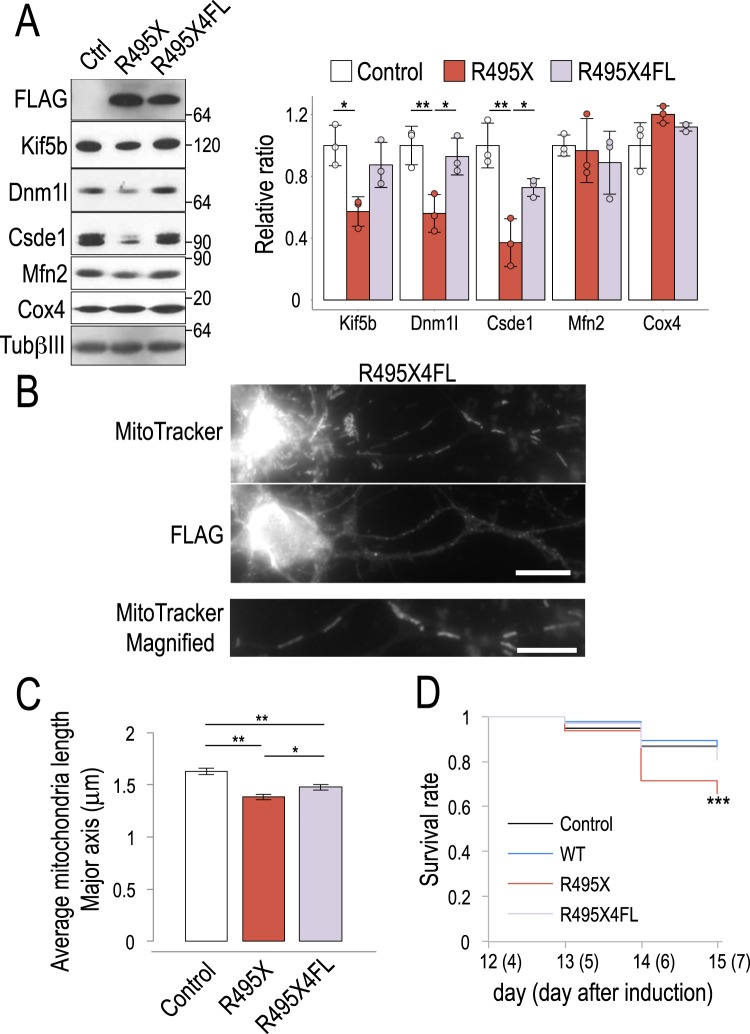 R495X4FL partially rescues R495X induced mitochondria shortening and neurotoxicity. ( A ) Immunoblots for control, R495X- and R495X4FL-expressing neurons (left) and bar plot for normalized protein band intensities (right). Average band intensity for control was set to 1. Protein standard is shown on the right. Error bars indicate standard deviation (N = 3). P-values in one-way ANOVA are, 0.015, 0.009, 0.003, 0.731 and 0.093 for Kif5b, Dnm1l, Csde1, Mfn2 and Cox4, respectively and * p
