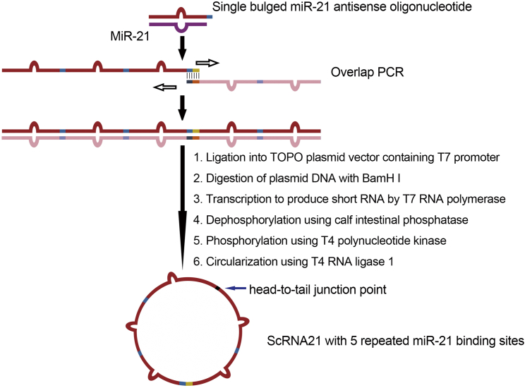 Workflow for Producing Synthetic miR-21 circRNA Sponge Each binding site sequence is perfectly complementary to the miR-21 seed region, but contains a bulge at positions 9–12 to prevent RNAi-type cleavage and degradation. One PCR cycle facilitates synthesis to generate a double-stranded DNA PCR fragment, which is then cloned into the TOPO PCR cloning vector (Invitrogen). The T7 RNA polymerase binding site located just 5′ to the PCR insert is used to generate, via T7 RNA polymerase, large quantities (150 μg) of linear RNA containing the miR sponge sequence described above. Calf intestinal phosphatase dephosphorylates the 5′ end of the RNA transcript, and T4 polynucleotide kinase (in the presence of ATP) generates RNA molecules suitable for ligation. Incubation with T4 RNA ligase results in RNA circularization.