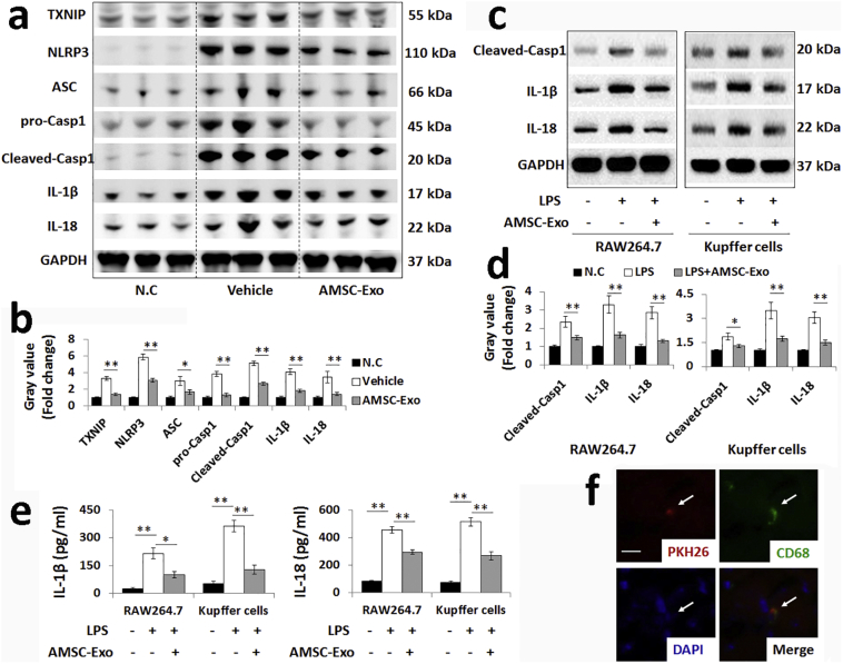 AMSC-Exo reduce NLRP3 inflammasome activation in macrophages. (a–d) Western blot analysis and gray value assay on expression levels of inflammasome-associated protein in murine liver samples (a and b, n = 6, 3 from 6 samples were shown in a) and macrophages (c and d, n = 3). (e) IL-1β and IL-18 secretion levels from macrophages by LPS exposure were measured by ELISA. (f) PKH26-labeled AMSC-Exo were colocalized with CD68-positive Kupffer cells. Scale bar: 30 μm. Data are presented as mean ± SD (Statistical analysis was performed by Student's t -test, *p