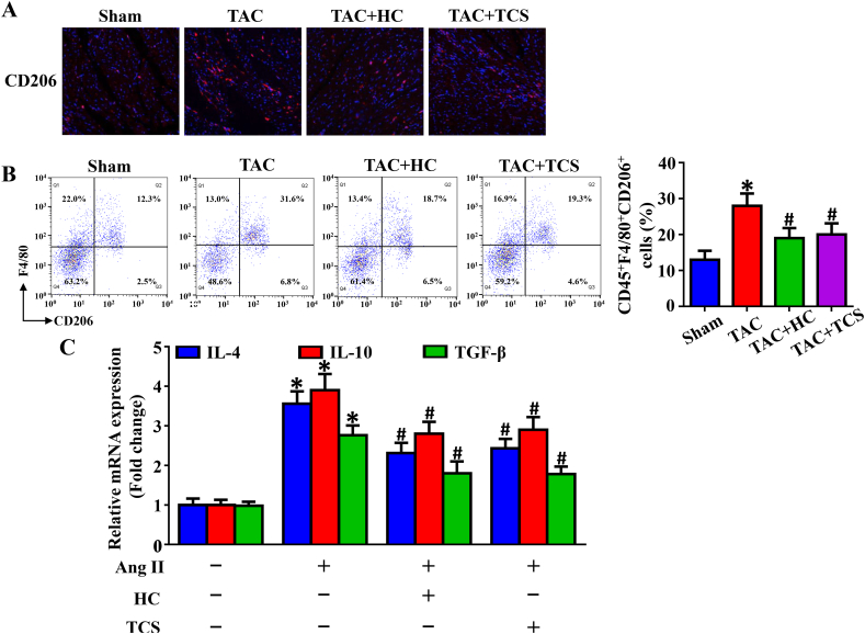 TRPA1 inhibition reduces M2 macrophage polarization. (A) Immunofluorescence analysis of M2 macrophages (anti-CD206) in mice at 4 weeks after TAC surgery (n = 7). (B) Flow cytometry analysis of M2 macrophage <t>(CD45</t> + F4/80 + CD206 + ) expression in mice at 4 weeks after TAC surgery (n = 4). (C) RT-PCR analysis of interleukin-4 (IL-4), IL-10 and transforming growth factor-β (TGF-β) expression in bone marrow–derived macrophages (BMDMs) cultured with and without Ang II (n = 8). *P