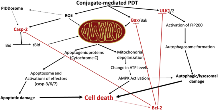 The primary response of MPDC-mediated PDT on the expression of genes involved in cell death pathways was the up-regulation of Ulk-1, Bax, Casp-2 and Bcl-2 genes. The Ulk-1 protein protonates and activates the FIP200. ULK is part of a protein complex containing Atg13, Atg17 and FIP200 (autophagosome), which drives the subsequent cellular damage and death. The Bax protein directly affects the mitochondria while the Cas-2 protein is activated by reactive oxygen species (ROS) and then Casp-2 transforms a mitochondrial damaging protein into its truncated and activated form (tBid). The p53-induced death domain associated protein (PIDD) can also convert pro-Casp-2 into the active Casp-2. Apoptogenic proteins (such as Cytochrome C) released from mitochondria participate in the assemblage of the apoptosome, activation of other effectors (Casp-3/6/7) and cell death. Mitochondrial damage and depolarization induce change in cellular ATP levels, activation of the 5′ adenosine monophosphate activated protein kinase (AMPK) and AMPK-induced cell death. This cell death response stimulates Bcl-2 protein to prevent further cell damage.