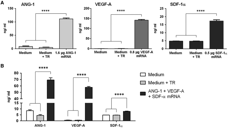Expression of ANG-1, VEGF-A, and SDF-1α after the Transfection of Synthetic mRNA into Murine EPCs 1 × 10 5 EPCs were seeded and transfected the next day with (A) 1.6 μg ANG-1, 0.8 μg VEGF-A, or 0.5 μg SDF-1α mRNA or with (B) an mRNA cocktail containing 1.6 μg ANG-1, 0.8 μg VEGF-A, and 0.5 μg SDF-1α mRNA. The protein expression was analyzed in supernatants 24 hr after the transfection using ELISA. Cells treated with only medium or medium and transfection reagent (TR) served as negative controls. Results are shown as mean + SEM (n = 4). Statistical differences were determined using one-way ANOVA followed by Bonferroni multiple comparison test (****p