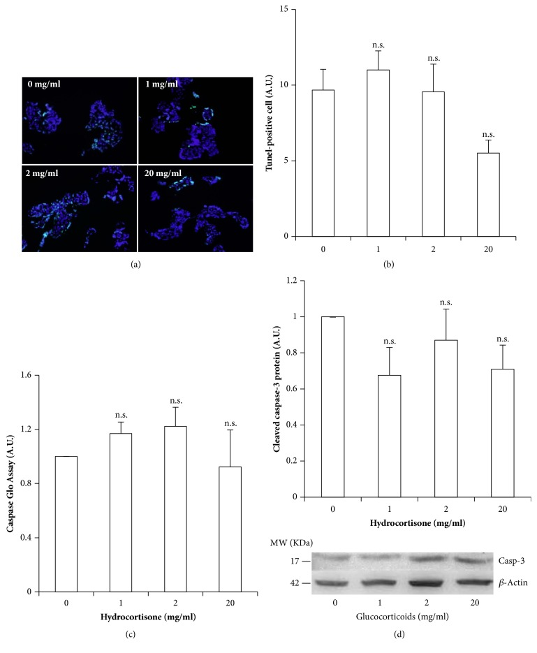 Assessment of hydrocortisone-induced cellular death by apoptosis in healthy-term placental explants. (a) Representative microphotographs of TUNEL assay to determine apoptosis in each experimental condition; cells undergoing apoptosis present fluorescent green nuclei. (b) Quantification of the % of TUNEL positive cells per condition. (c) Active caspases 3 and 7 as measured by luminometry, using the Caspase Glo Assay. (d) Cleaved caspase 3 as determined by western blot and normalized by actin levels. Values are presented as means ± SEM for 5 independent experiments. ∗ p≤0.05; ∗∗ p≤0.01; ∗∗∗ p≤0.001 relative to control.