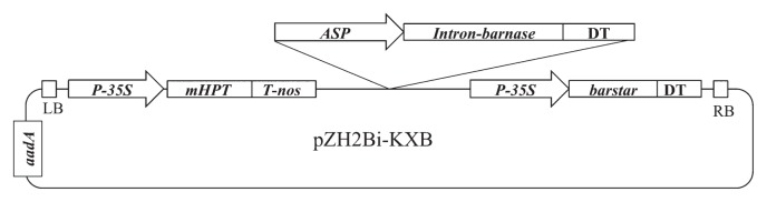Binary vector used in this study, pZH2Bi-KXB. ASP , anther-specific expressed gene promoter region; aadA , spectinomycin resistance protein; P-35S , CaMV 35S promoter; mHPT , modified hygromycin phosphotransferase; T-nos , nopaline synthase terminator; DT, 35S and nos double terminator; LB, T-DNA left border; RB, T-DNA right border.