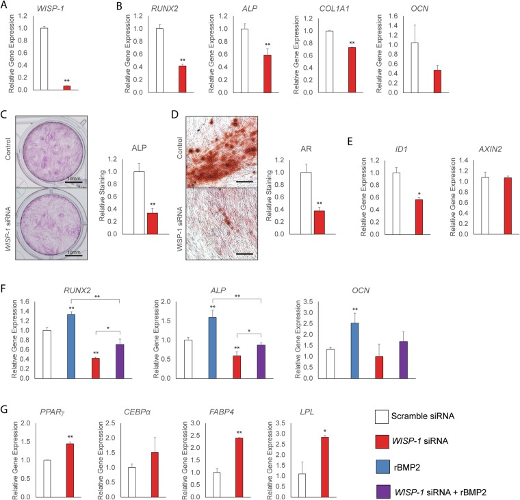 Osteogenic and adipogenic differentiation of human PSC with <t>WISP-1</t> knockdown. WISP-1 siRNA or scramble siRNA treated PSC were evaluated for osteogenic and adipogenic differentiation. ( A ) Knockdown efficiency of WISP-1 in human PSC, assessed by qRT-PCR. ( B – D ) Osteogenic differentiation of human PSC with or without WISP-1 knockdown. ( B ) Expression levels of osteogenic gene markers by qRT-PCR at 3 days of osteogenic differentiation, including RUNX2 (Runt-related transcription factor 2), ALP (Alkaline Phosphatase), COL1A1 (Type I Collagen) , and OCN ( Osteocalcin ). ( C ) Alkaline phosphatase (ALP) staining and photometric quantification after 12 days of osteogenic differentiation with or without WISP-1 knockdown. ( D ) Bone nodule formation examined by Alizarin red (AR) staining after 12 days of osteogenic differentiation with or without WISP-1 knockdown. ( E ) Expression levels of markers of BMP and Wnt signaling activity by qRT-PCR at 3 days of osteogenic differentiation with or without WISP-1 knockdown, including ID1 (Inhibitor of DNA binding 1) and AXIN2 (Axis Inhibition Protein 2) . ( F ) PSC were treated with rBMP2 (50 ng/mL), with or without WISP-1 knockdown. Expression levels of osteogenic gene markers by qRT-PCR at 3 days of osteogenic differentiation, including RUNX2 , ALP , and OCN . ( G ) Adipogenic differentiation of human PSC with or without WISP-1 knockdown. Adipocytic gene markers assessed by quantitative RT-PCR at 3 days of differentiation, including PPAR γ ( Peroxisome proliferator-activated receptor gamma ), CEBP α ( CCAAT/enhancer-binding protein alpha ), FABP4 (Fatty acid binding protein 4) , and LPL ( Lipoprotein lipase ). * P