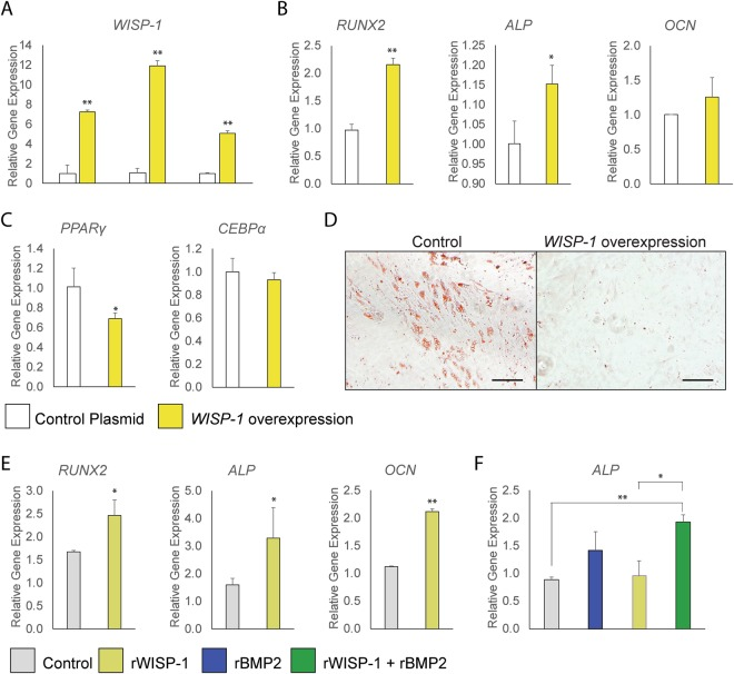 Osteogenic and adipogenic differentiation of human PSC with WISP-1 overexpression or rWISP-1 protein. ( A – D ) WISP-1 overexpression or control plasmid treated PSC were evaluated for osteogenic and adipogenic differentiation. ( A ) Efficacy of WISP-1 plasmid in human PSC, assessed by qRT-PCR at 6, 9, and 15 days. ( B ) Expression levels of osteogenic gene markers by qRT-PCR at 3 days of osteogenic differentiation, including RUNX2 (Runt-related transcription factor 2), ALP (Alkaline Phosphatase), COL1A1 (Type I Collagen) , and OCN ( Osteocalcin ). ( C ) Adipocytic gene markers assessed by quantitative RT-PCR at 3 days of differentiation, including PPAR γ ( Peroxisome proliferator-activated receptor gamma ), CEBP α ( CCAAT/enhancer-binding protein alpha ). ( D ) Oil red O staining of human PSC with or without WISP-1 overexpression, 15 days of differentiation. ( E , F ) Osteogenic differentiation of human PSC with or without recombinant (r)WISP-1 protein (200 ng/mL). ( E ) Expression levels of osteogenic gene markers by qRT-PCR at 3 days of osteogenic differentiation, including RUNX2 , ALP , and OCN . ( F ) Effects of rWISP-1 (200 ng/mL) and rBMP2 (50 ng/mL) combined application in human PSC. Expression levels of ALP assessed by qRT-PCR at 3 days of osteogenic differentiation. * P